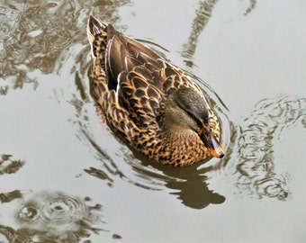 Swimming Duck,Wild Duck, Duck Photography, Farmyard Animals, Bird Photography