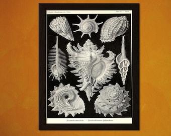 Vintage Seashell Print 1904 - Haeckel Poster Ocean Art Nautical Print Sea Life Marine Scientific Seashell Poster