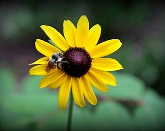 Blackeyed Susan and Bumble Bee