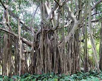 Ficus Benghalensis Tree 100+ Seeds, Banyan, Garden Bengal Fig, East Indian Fig Bonsai