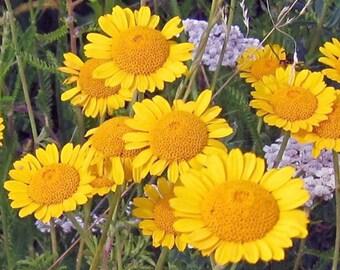 Marguerite Golden Anthemis Sancti-Johannis 100 Seeds