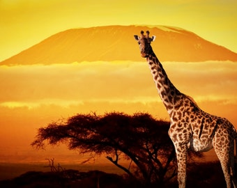 Giraffe in Africa (Framed Canvas)