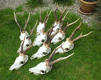 SALE *** Collection roedeer antlers * czech taxidermy * trophy * by Marek Švub