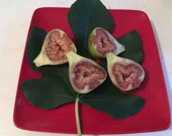 Pied De Beouf  Ficus Carica. Common Fig Plant '