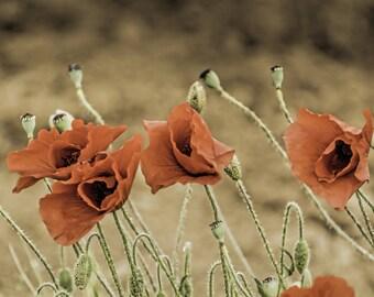 Poppies Digital Photo - Poppies Photo - Wild Flowers Photo - Poppy Print - Flowers Wall Decor - Meadow - Digital Photo - Digital Download