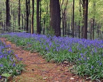 Greeting card_036 - Bluebells Brakel forest