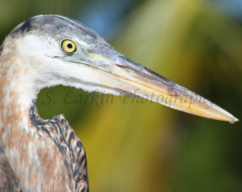 blue heron bird photography wildlife photography nature photography fine art photography florida keys photography animal photography birds
