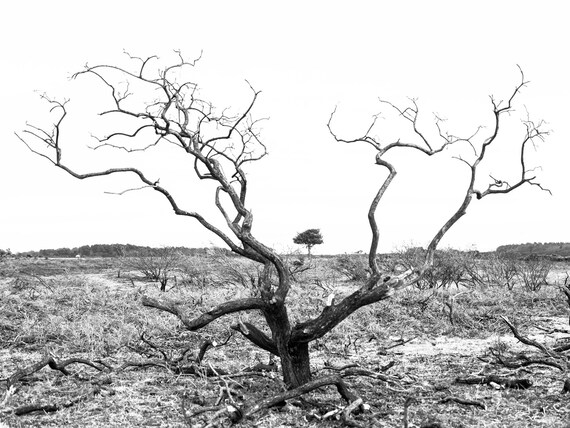 SKELETON TREE, Tree Print, Black and White Print, Monochrome Picture, Photographic Print, Limited Edition Print.