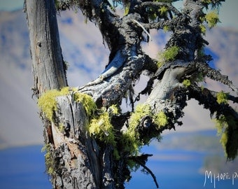 Crater Lake, Macro, Wall Print, Home Decor, Fine Art Photography, Wonders of the Pacific Northwest, Mossy Trees, Background and Foreground