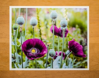 Purple Oriental Poppies and Seed Pods in a Garden