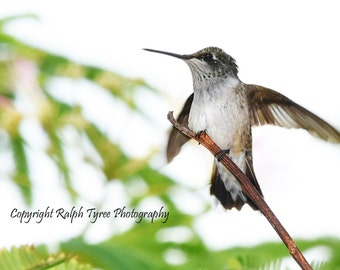 Ruby Throated Hummingbird #2581