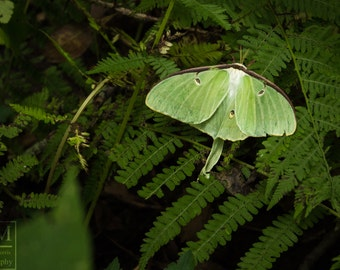 Luna Moth Photo Prints