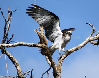 Osprey at Lake Joondalup