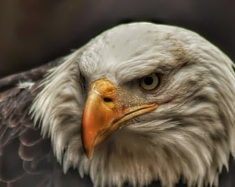 Look of the Eagle.  INCLUDES SHIPPING To Canada & USA