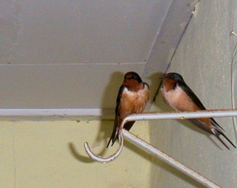 Barn Swallow Siblings