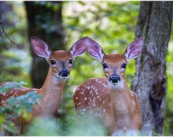 photography,wildlife photography,deer photo,fawn photo,smoky mountains,Tennessee photor,two fawns,white tail deer, nature photography