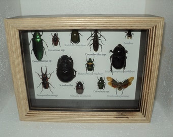 A collection 12  exotic insects in two-tone frame