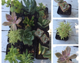 6 potted succulents succulent plant succulent collection plastic pots