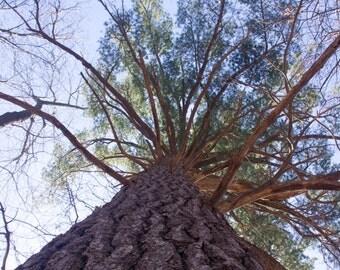 Massive white pine photograph,pine tree photograph,nature photograph,wilderness picture,fine art print, nature photography
