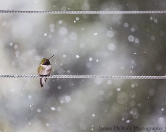 Early Arrival-Fine Art-Wildlife Photography-Hummingbird-Spring Snow-Home Decor-Signed By Artist-Photo Print