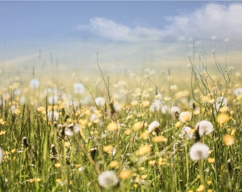 Digital background backdrop | Nature photography | Landscape | Dandelion field |summer meadow | iphone wallpaper