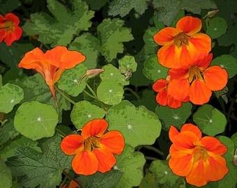 Orange Flower Photo, 5x7 Photo, Nasturtium Photo, Fine Art Photo