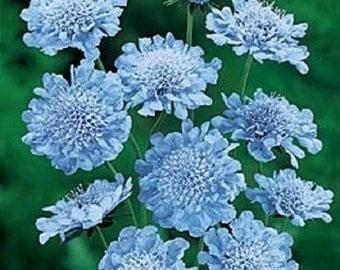 25+ Light Blue Pincushion Scabiosa / Perennial Flower Seeds