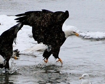 Eagle Walking on Water