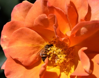 O9 - Bee in Orange Rose 2
