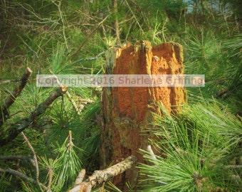 Broken stump amid pine boughs