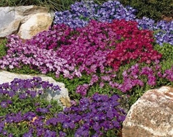 "Aubrieta deltoidea Aubretia 'Spring Charm"" 250 Seeds"