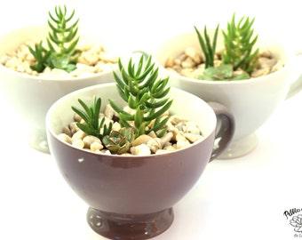 DIY Terrarium Kit, Tea Cup Succulent Terrarium Kit, Miniature Garden, Living Succulent, Indoor garden, Green Gift, succulent terrarium
