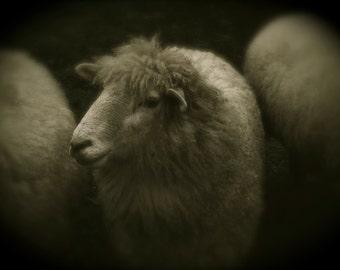 Sheep photo...Black and White art photo custom professionally printed