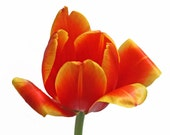 orange tulip photo, floral wall art, orange decor, little girl decor, nursery decor, minimalist art, tulip art, orange yellow art
