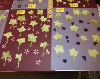 Choose your Lime or Purple Star Flowers and Verbena Pressed and Preserved in Alaska 330 FL
