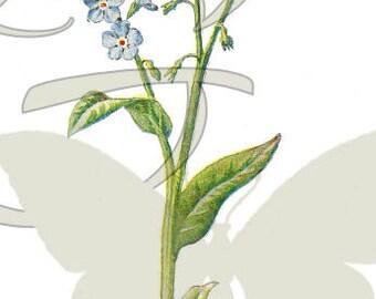 Vintage Flower Botanical Digital Download Forget-Me-Not Clip Art Image Wildflower Illustration