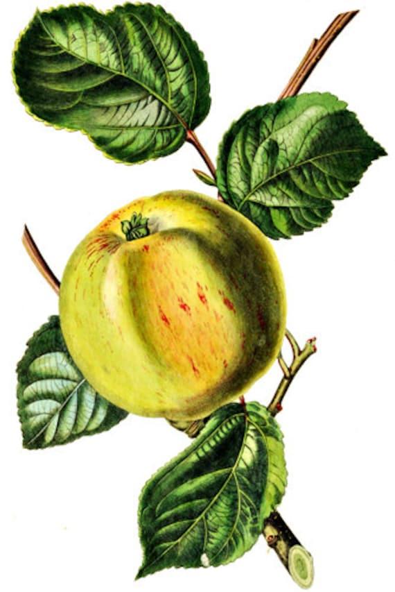 YELLOW APPLE ART printable fruit print clipart png clip art Jpg digital download transparent image graphics home decor printable wall art