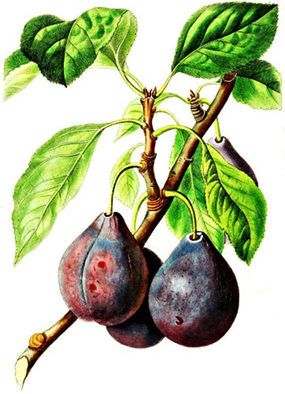 purple figs fruit png clip art Digital image download graphics art printables food gardening clipart vintage illustrations