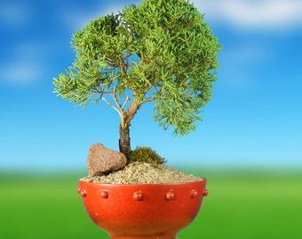 Beautiful JUNIPER BONSAI TREE - As Shown in The Picture!