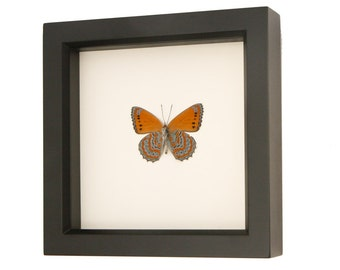 Framed Butterfly Meadow Wanderer Taxidermy Sallya Crenis pechuelli