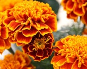 Organic French Marigold Seed // Queen Sophia Marigold // Tagetes Patula 100 Seeds