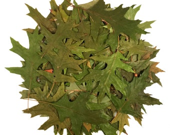 25 Real PRESSED GREEN OAK Leaves - Perfect for Weddings, Events, Decorations, Art & Craft Projects, Holidays, Cards, ScrapBooking
