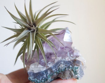 Air Plant on Amethyst Crystal, February Birthstone, Geode Chunk, Crystal Garden, Little Something, Gift For Her Under 20, Stocking Stuffer