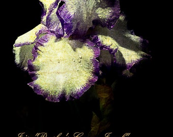 "Iris ""Presby's Crown Jewel"" art for wall.  Flower still life wall art from still photography.  Fine art print for home decor or wall art."