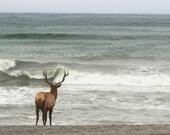 elk, elk on beach, antler, bull elk, buck, surf, beach, water, pacific ocean
