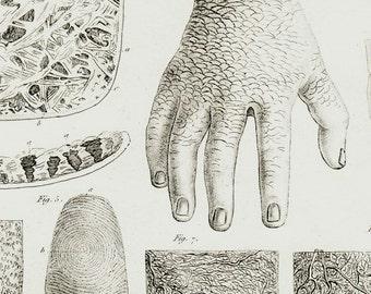 1840 Antique anatomy print, medical chart, medical chart, Touch organs chart,medical print, skin, fingerprints, original antique