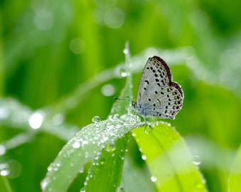 Nature Photography Pale Grass Blue Butterfly