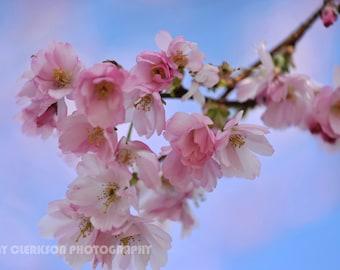Cherry Blossom. Fine art photography print. Wall art. Wall decor. Contemporary art. Glasgow photography.