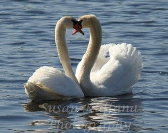 Love On The Lake .. Swan Photography.. Bird Photography..Wild Life Photography..Nature Photography ..Swan Pictures..Original Fine Art