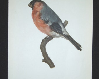 Bird Print, Bullfinch, Pyrrhula Pyrrhula, 1962 Book Plate, Demartini